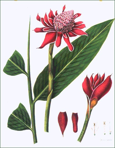 Go to Donald Angus Collection of Botanical Prints