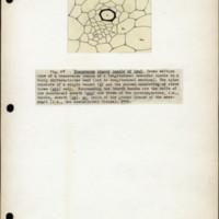 Page 45 – Transverse branch bundle of leaf
