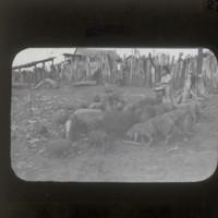Pigs of Brazilian immigrants: ブラジル移民の豚