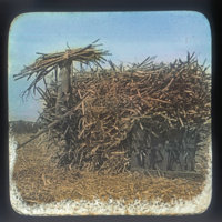 Sugar cane harvest, loading into hopper