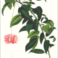 Hibiscus schizopetalus, Veitch