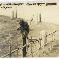 A monkey sitting on a bamboo fence, Sendai Miyagi Japan