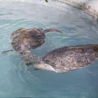 Turtles at the Waikiki aquarium