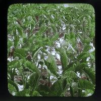 Full-leafed taro plants in field