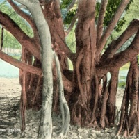 Banyan Tree, Hawaiian Islands
