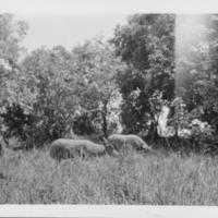 [062] Water Buffalos