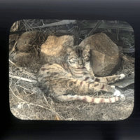 Tabby cat curled up against stones