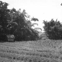062. Garlic and watcher's shack, Honam Island
