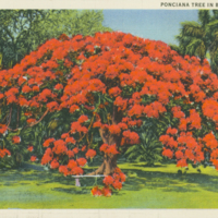 [051] Ponciana Tree in Bloom, Hawaii