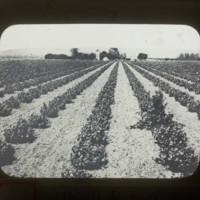Japanese American's vineyard: 在米同胞葡萄園
