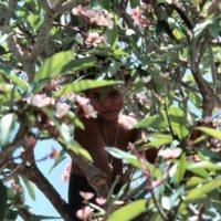 Boy in Plumeria Tree - 2