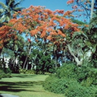 shower trees, Royal Hawaiian. June 1951
