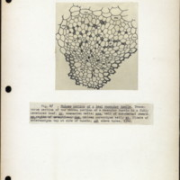 Page 44 – Phloem portion of a leaf vasular bundle