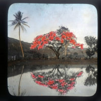 Red flowers in bloom on tree, reflected in pond