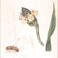 Zingiber cassumunar