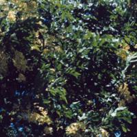 Yellow shower trees. Honolulu. June 1951