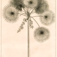 Herbarium Amboinense, Plurimas Conplectens, Arbores,…