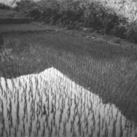 215. Rice Paddy near Lo Mong
