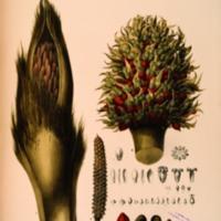 Historia Naturalis Palmarum : Opus Tripartium...