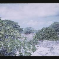 Kiren and Konnat trees in interior of Lujor Island.