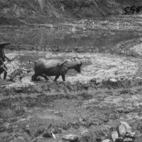 598. Kung Ya (?) : ploughing