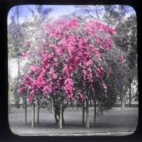 "Flowering bougainvillea ""tree""  with purple flowers"