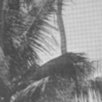 [067] Men Climbing Coconut Tree