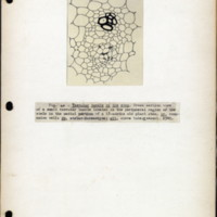 Page 23 – Vascular bundle of the stem