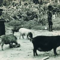 Siwai: Feeding Pigs