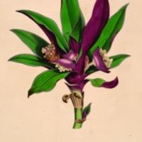 Icones Pictae Plantarum Rariorum Descriptionibus et…