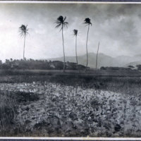 Rice field with scarecrow
