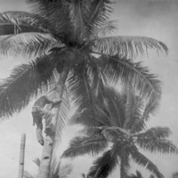 Climbing a coconut tree, Pagan Island, Jan. 1946.…