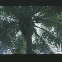 Two shots of Jorri in coconut tree. [1st shot]