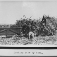 Loading Cane by Hand