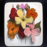 Hibiscus blooms