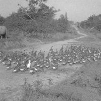 863. [Flock of geese in road]