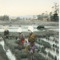 [Farmers (Two women and a man) working on the rice…