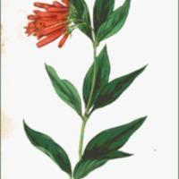 Bouvardia triphylla