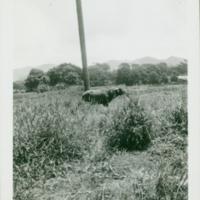 [104] Water Buffalo