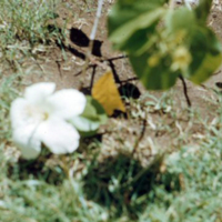 White hibiscus, our yard. Hawaii. June 1951