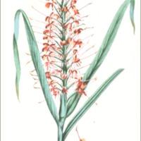 Hedychium longifolium