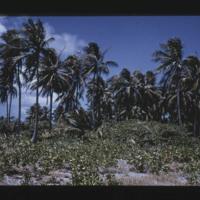 Japtan (David) Island. Coconut stand on lagoon side....