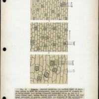 Page 58 – Stomata