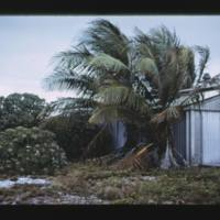 Parry Island (Elmer). Sick coconuts and bush foliage…