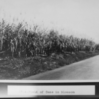 Field of Cane in Blossom