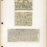 Page 53 – Epidermal and hypodermal layers of the leaf