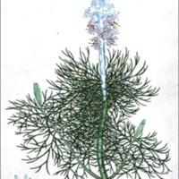 Protea lagopus