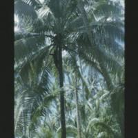Two shots of Jorri in coconut tree. [2nd shot]