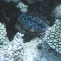 Blue Clam in Coral Reef