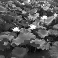 874. [Lotus flowers]